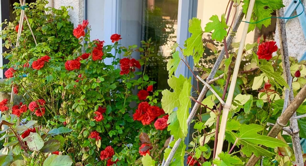 Gouttes d'inspiration #5 - La vigne dans les rosiers