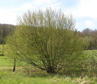 Common hazelnut tree
