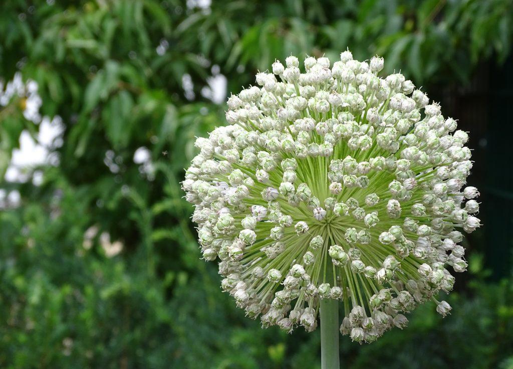 Fleur de poireau